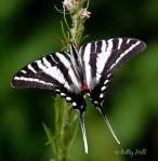 zebra-08-2b1
